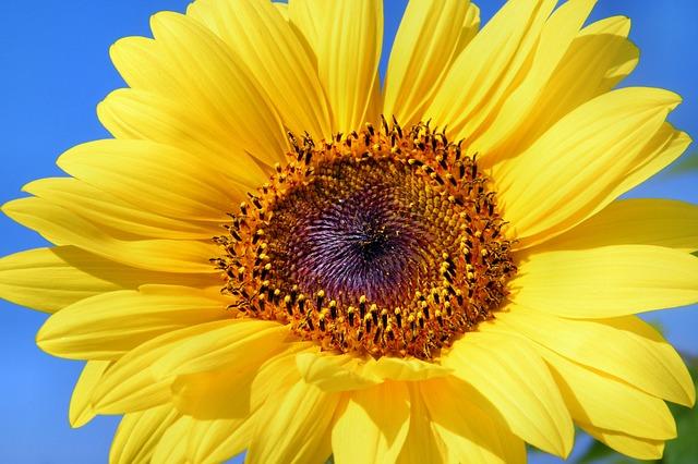 sun-flower-179010_640