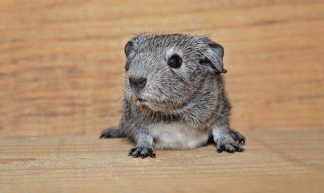 guinea-pig-912988_640