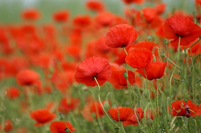 poppy-1173487_640