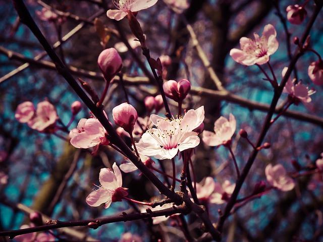 almond-blossom-1229138_640