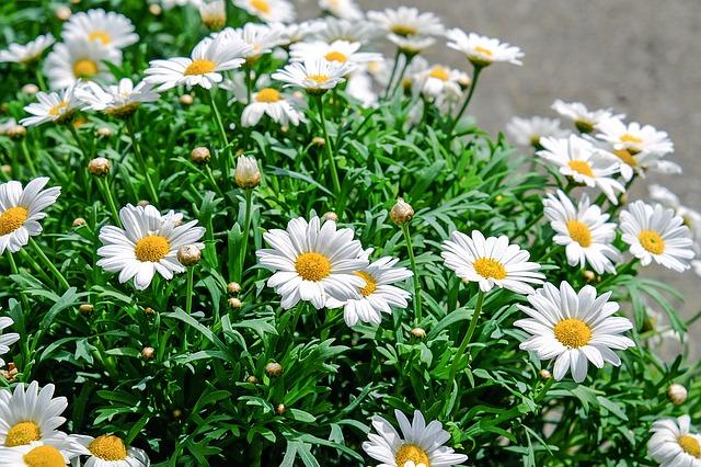 daisies-1373075_640