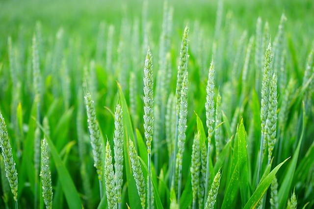 wheat-1117267_640